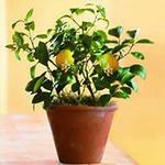 limon-iz-kostochki