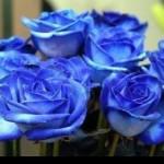 sinie-rozyi