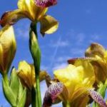 zheltyiy-iris-1