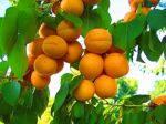 abrikosovoe-varene-na-zimu
