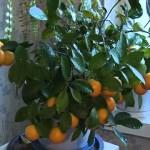 mandarinyi-doma